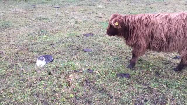 Watch and share Aww GIFs and Cat GIFs by Highland Cattle of Saarela on Gfycat