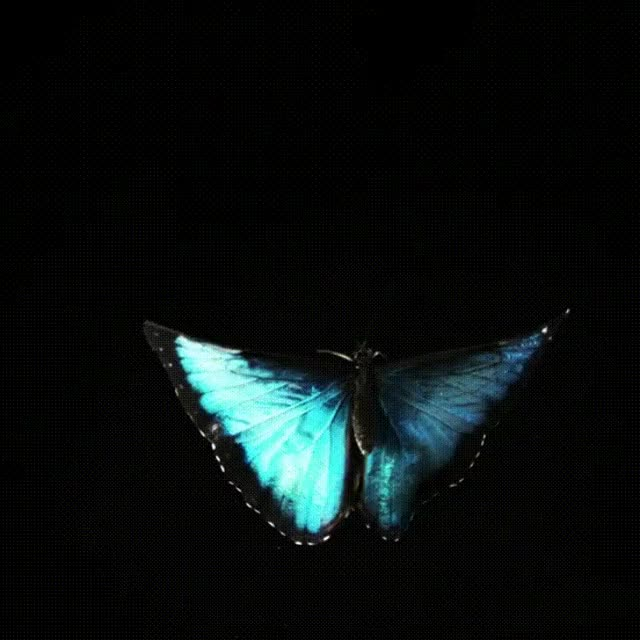 Watch butterfly GIF on Gfycat. Discover more butterfly GIFs on Gfycat