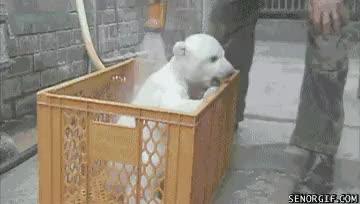 Watch and share Polar Bear Cub Cuteness GIFs on Gfycat