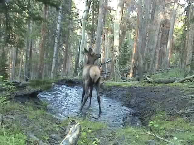 Watch and share Calf GIFs and Elk GIFs by Mutoid on Gfycat