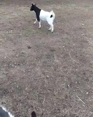 Watch and share Goat Plays Soccer Like A Pro (reddit) GIFs on Gfycat