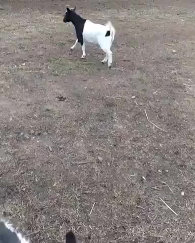 StoppedWorking, gifs, Goat plays soccer like a pro (reddit) GIFs