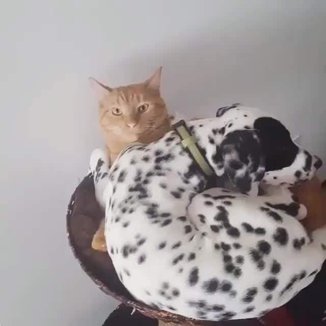 Watch this cat GIF on Gfycat. Discover more StoppedWorking, cat, cute, dog GIFs on Gfycat