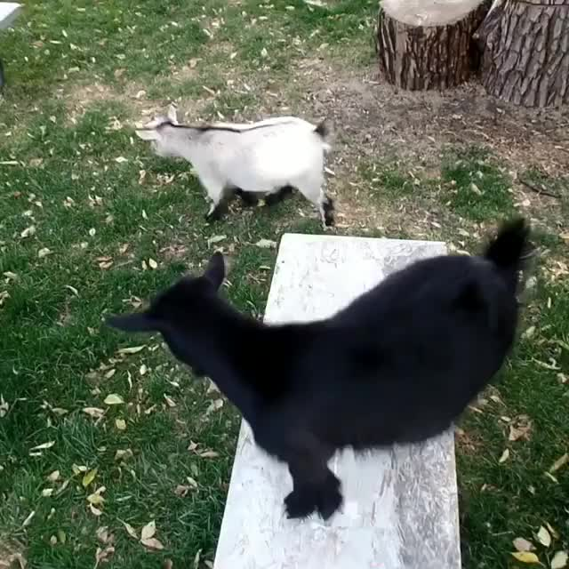 Watch and share /r/goatgifs - From Goatstigram GIFs by cakejerry on Gfycat