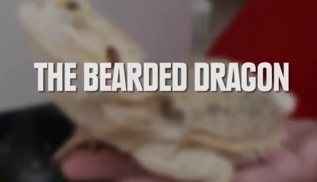 Watch th bearded dragon GIF on Gfycat. Discover more cute GIFs on Gfycat