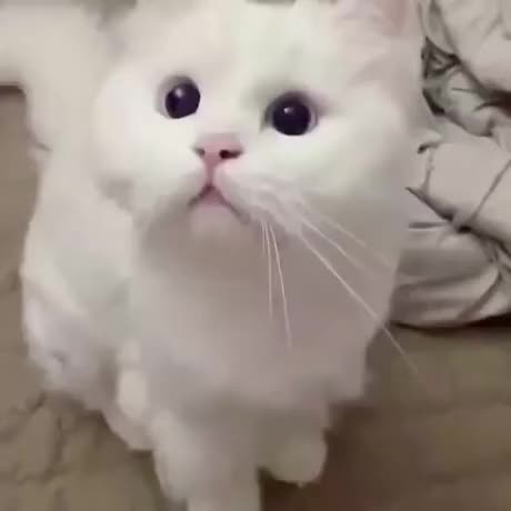 Watch and share Confused GIFs and Meow GIFs by esberat on Gfycat