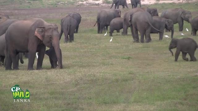Watch little guys face off  GIF by PM_ME_STEAM_K3YS (@pmmesteamk3ys) on Gfycat. Discover more elefanti dello Sri Lanka, save elephants, sri lankan elephants, srilankische Elefanten, éléphants du Sri Lanka, श्रीलंकाई हाथियों, අලියා, ශ්රී ලංකාවේ අලි, ශ්රී ලංකාවේ අලි ඇතුන්, スリランカのゾウ GIFs on Gfycat