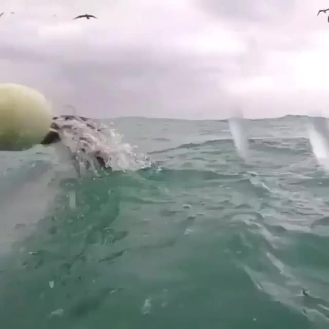 Watch and share Shark GIFs and Yawn GIFs by Reactions on Gfycat