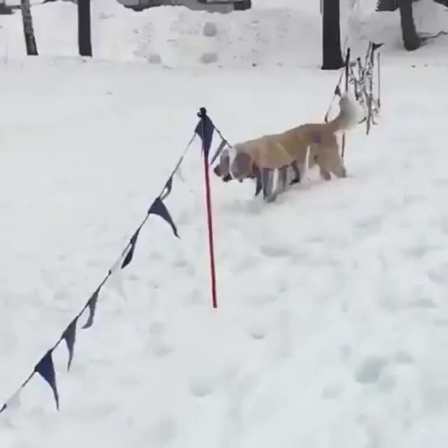 Watch and share He Discovered Sliding Downhill On The Snow GIFs on Gfycat