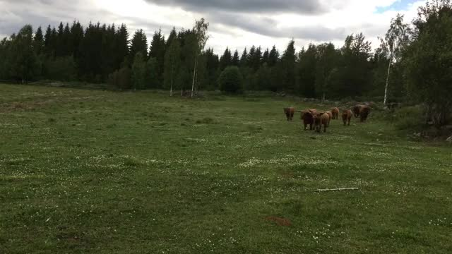 Watch and share Highland Cattle GIFs and Scottish GIFs by Highland Cattle of Saarela on Gfycat