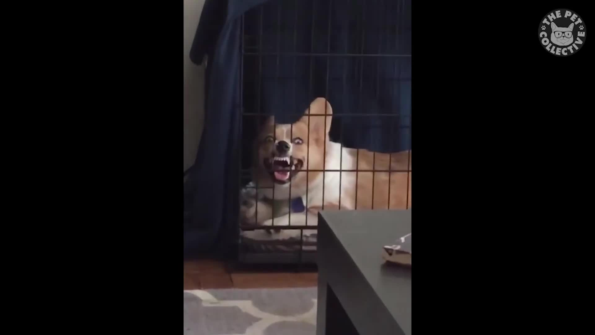 Image of: Pet Collective Dark Dogs Funny Dog Video Compilation 2017 Gif Gfycat Dark Dogs Funny Dog Video Compilation 2017 Gif Find Make