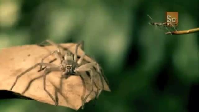 yesyesyesno, Jumping Jack Ants vs. Huntsman Spider | Monster Bug Wars (reddit) GIFs