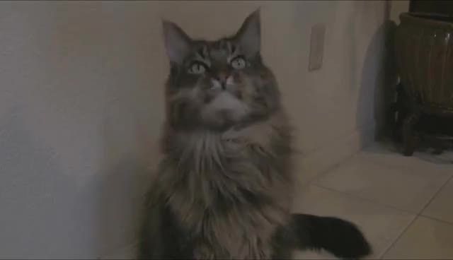 cat, Maine Coon GIFs