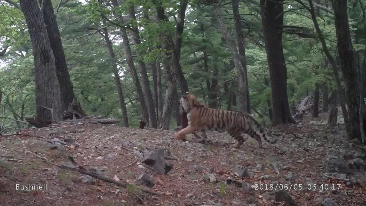 Amur Tiger carrying a deer kill GIFs