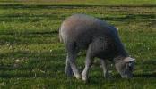 Watch and share Lamb GIFs on Gfycat