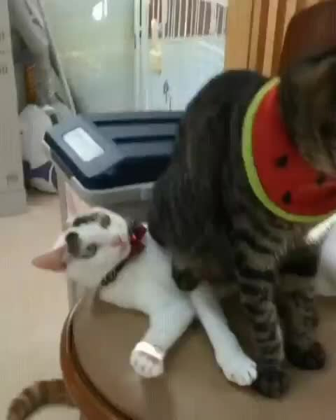 and w, funny, cat, Cat uses other cat as stool GIFs