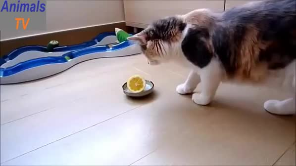 Watch and share Crazy Cats GIFs and Funny Cats GIFs on Gfycat