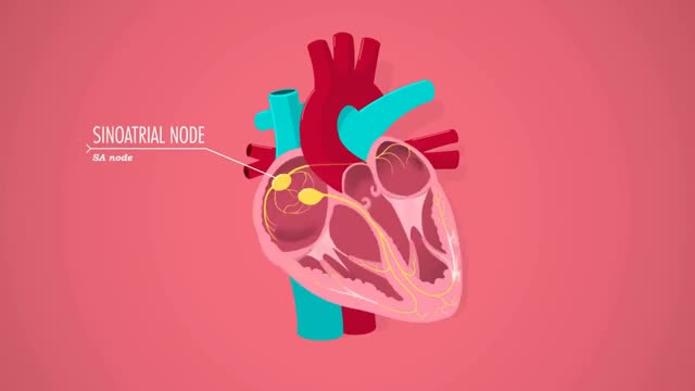 Watch The Heart, part 2 - Heart Throbs: Crash Course A&P #26 GIF on Gfycat. Discover more All Tags, Blood, Heart, Vlogbrothers, anatomy, crashcourse, defibrilators, fibrilation, physiology GIFs on Gfycat