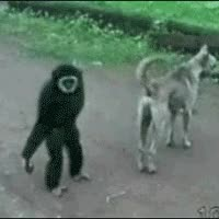 Watch and share 2) Monkey Stealing Car Wheels GIFs on Gfycat