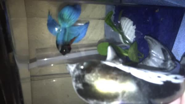 bettafish, He HATES the dolphin.... well, he HATES everything.... (reddit) GIFs