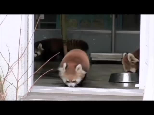 Best Panda Roux Gifs Find The Top Gif On Gfycat