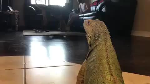 Watch and share /r/LizardGifs GIFs by cakejerry on Gfycat