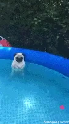 Watch carlin, chien debout, piscine, animal, mignon, cuteness, pug GIF on Gfycat. Discover more related GIFs on Gfycat