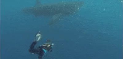 Watch this whale GIF on Gfycat. Discover more animal, mammal, ocean, sea, whale, whales GIFs on Gfycat