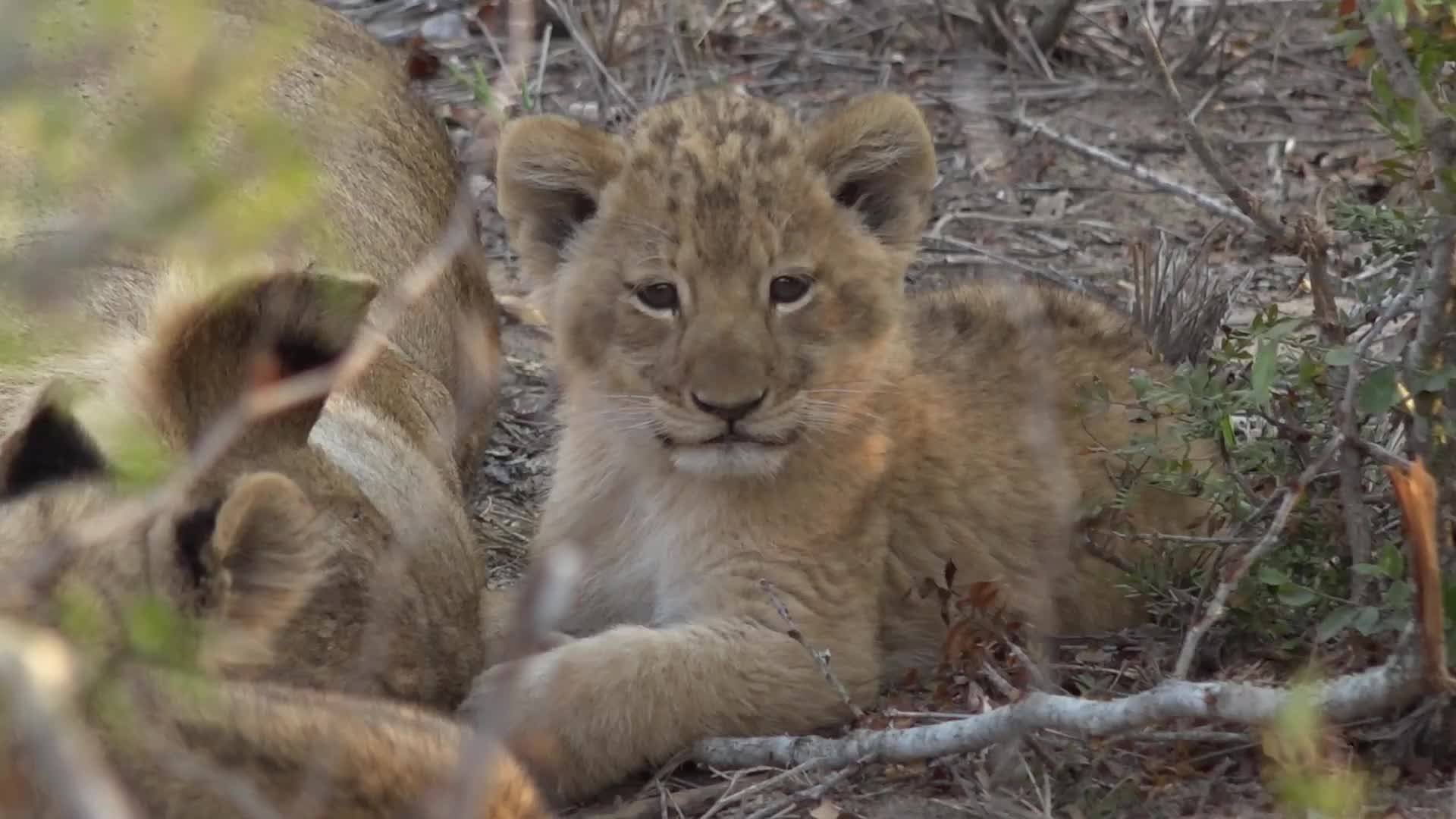 Sleepy lion cub (reddit) GIFs