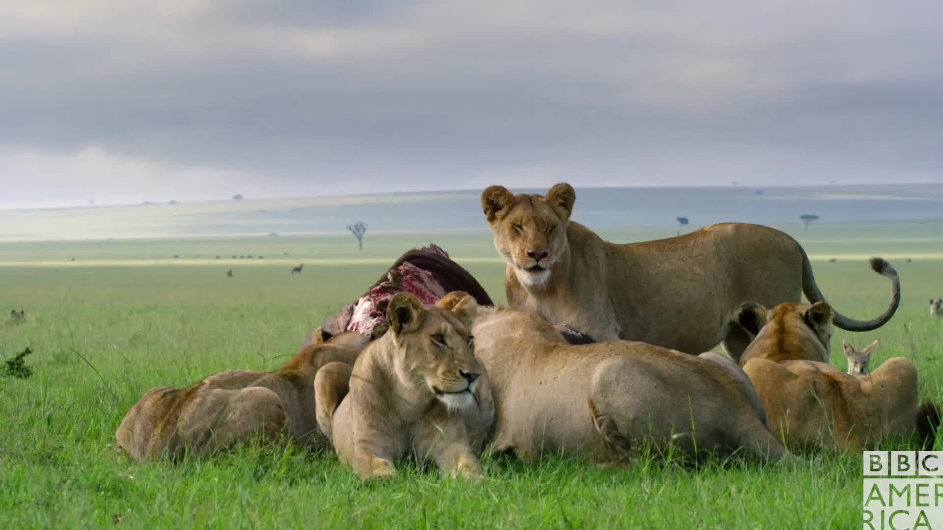 animal, animals, bbc america, bbc america: dynasties, dinner, dynasties, food, hungry, lion, lions, squad, squad goals, Dynasties Family Dinner GIFs