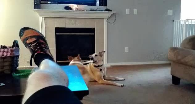 GIANTSTALKLIKETHIS, dog, Lab outsmarts corgi to keep his precious white bone GIFs