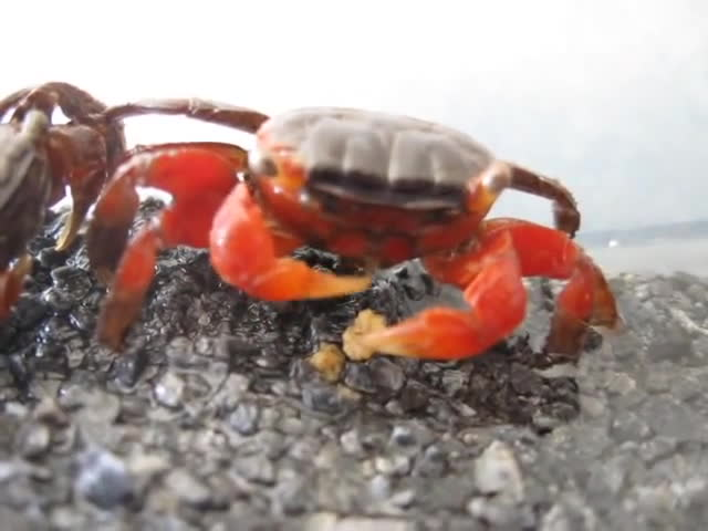 crab, crabseatingthings, eating, Crab Eating A Food Pellet GIFs