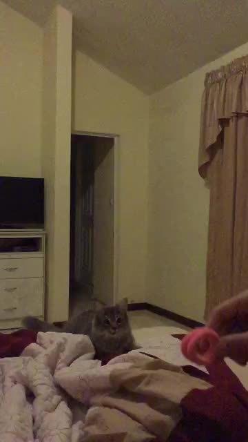 cats, nicecatch, Cat throw n' catch GIFs