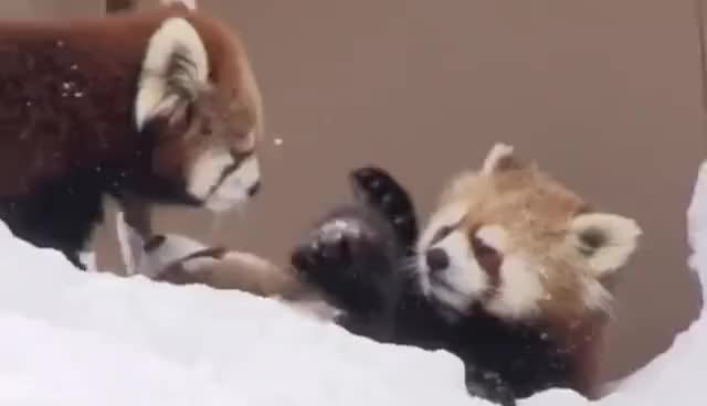 Watch this animal GIF on Gfycat. Discover more Red panda, animal, animals, red panda GIFs on Gfycat