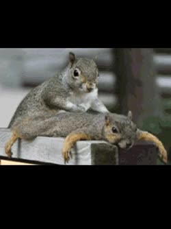 Watch and share Squirrel Massage Main GIFs on Gfycat