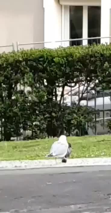 Watch and share Pidgeon GIFs and Seagull GIFs by ylizur on Gfycat