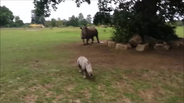 Watch and share Baby Rhino GIFs and Animals GIFs by PM_ME_STEAM_K3YS on Gfycat