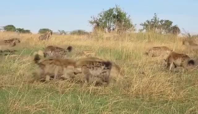 Watch Lion vs Hyenas GIF on Gfycat. Discover more related GIFs on Gfycat
