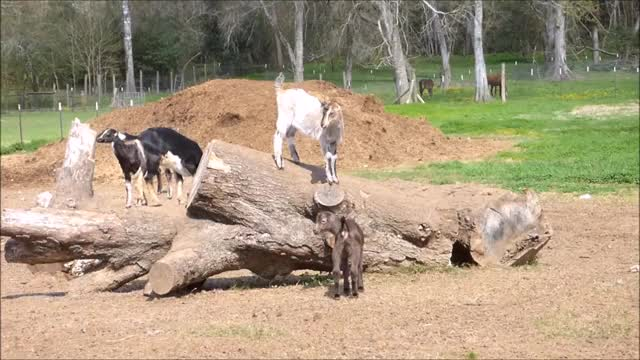 Watch Bro that was awesome GIF by KNS Farm (@knsfarm) on Gfycat. Discover more aww, cute, funny, goatparkour, knsfarm GIFs on Gfycat