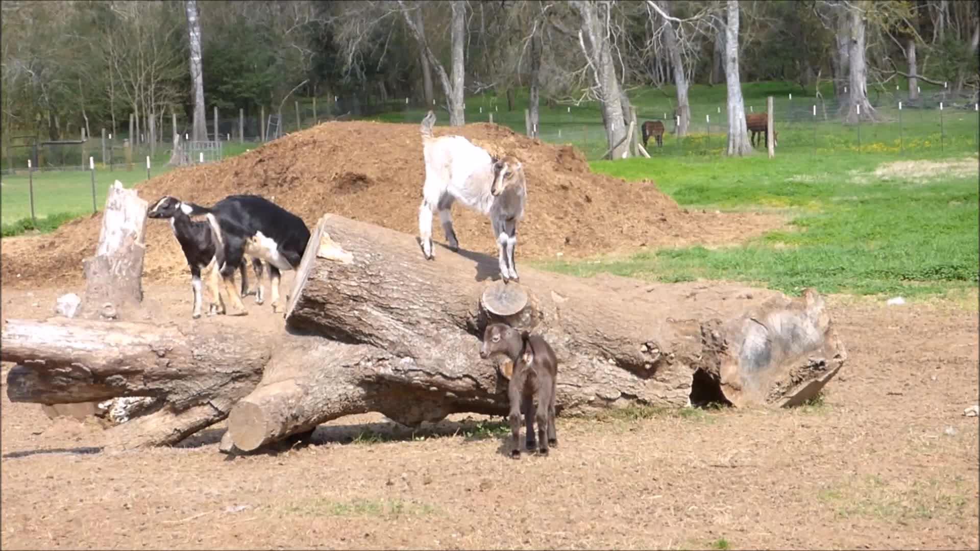 aww, cute, funny, goatparkour, knsfarm, Bro that was awesome GIFs