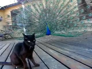 Watch this cat GIF on Gfycat. Discover more cat, peacock GIFs on Gfycat