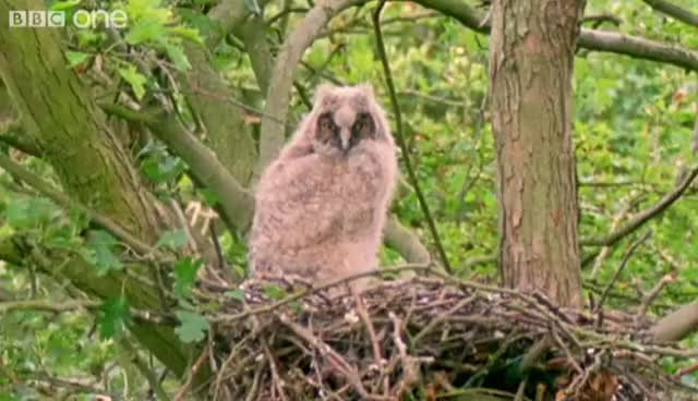 Watch owl GIF on Gfycat. Discover more bbc, bbc1, one, the, walk, wide, wild GIFs on Gfycat