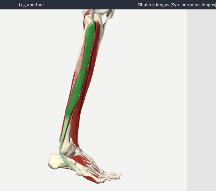 Peroneus Longus (Fibularis Longus) 360 | Find, Make & Share Gfycat GIFs