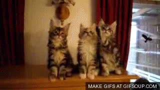 maine coon GIFs