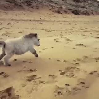 Watch Tiny horse on the beach • r/Eyebleach GIF on Gfycat. Discover more related GIFs on Gfycat