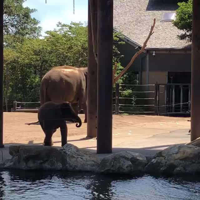 baby elephant, playing elephant, baby elephant plays with rope GIFs