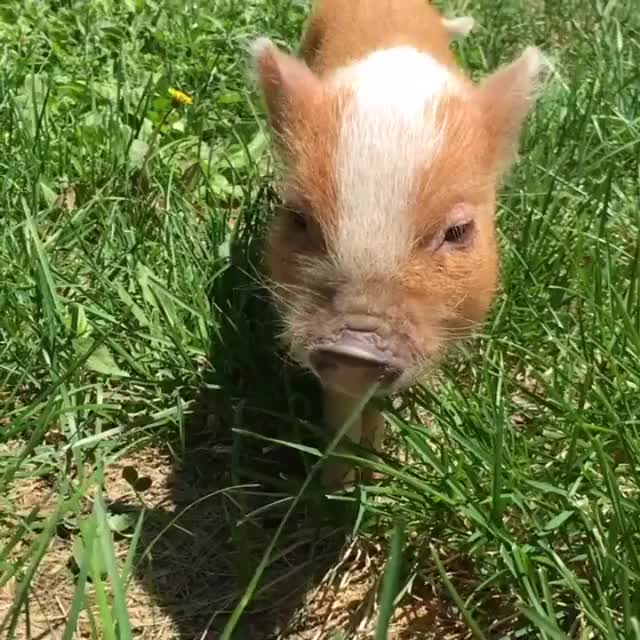 Watch and share Teacup Piggy GIFs by likkaon on Gfycat