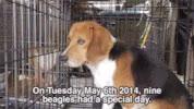 Watch and share Beagle GIFs on Gfycat