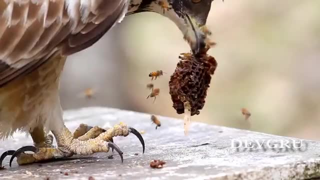 Watch and share R/HardcoreNature Crested Honey Buzzard GIFs on Gfycat