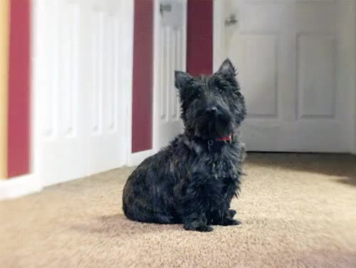Watch and share Scottish Terrier GIFs and Real Animal GIFs on Gfycat